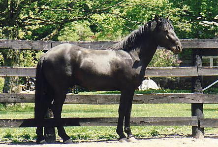 cheval arabe canada