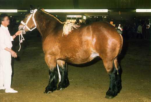 cheval de trait du nord